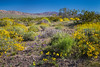 Spring desert wildflowers in the Box Canyons of the Orocopia Mountains near Mecca, California, USA.