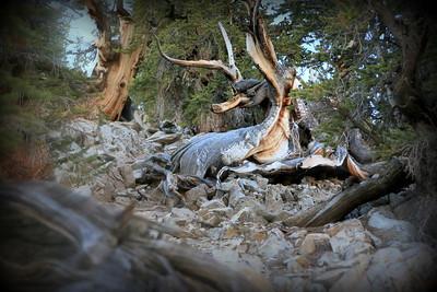 Schulman Grove Bristlecone Pines