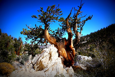 Schulman Grove Bristlecone Pines, White Mountain, Inyo National Forest