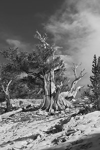 Bristlecone Pines at Patriarch Grove