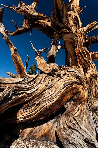 Detail of bristlecone pine tree
