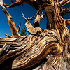 Detail of bristlecone pine tree