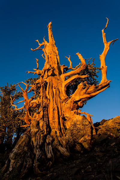 Bristlecone pine tree at sunset