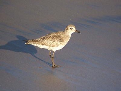 Black-bellied Plover, Natural Bridges State Beach