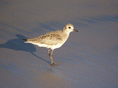 Black-bellied Plover, Natural Bridges State Beach
