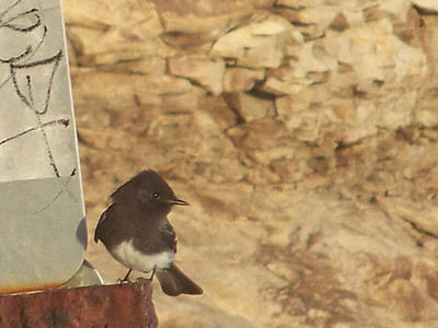 Black Phoebe, Natural Bridges State Beach