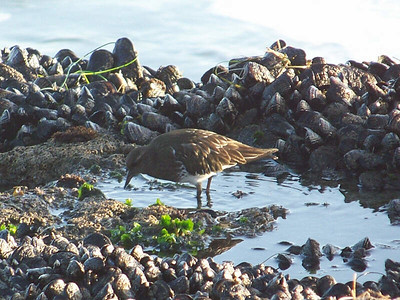 Black Turnstone, Natural Bridges State Beach