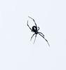 Black widow spider female (2)