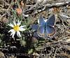 Acmon or lupine blue, plebejus sp, Mojave Natl Preserve CA (4)