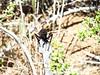 Tarantula Hawk, Mojave Natl Preserve CA (2)