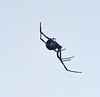 Black widow spider female (1)