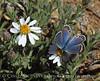 Acmon or lupine blue, plebejus sp, Mojave Natl Preserve CA (2)