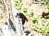 Tarantula Hawk, Mojave Natl Preserve CA (1)