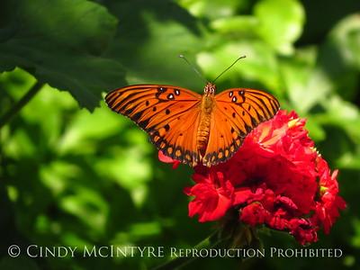 Calif Butterflies-Bugs