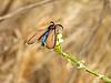 Montana de Oro State Park, CA - Brown ctenuchid moth