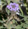 Moth on Gooding's Verbena, Mojave Natl Preserve CA (2)