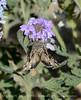 Moth on Gooding's Verbena, Mojave Natl Preserve CA (1)