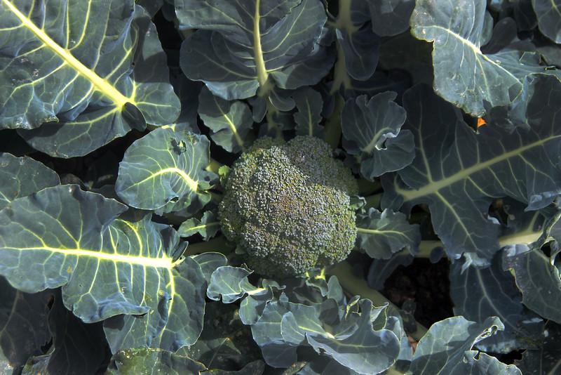 Lompoc California, Broccoli