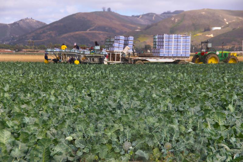 Lompoc California, Broccoli Harvest
