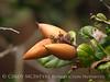Coastal live oak acorns, Elkhorn Slough CA (4)