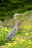 San Simeon CA Great Blue Heron (16)