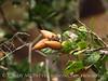 Coastal live oak acorns, Elkhorn Slough CA (3)