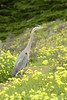 San Simeon CA Great Blue Heron (19)