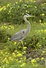 San Simeon CA Great Blue Heron (10)