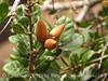 Coastal live oak acorns, Elkhorn Slough CA (2)