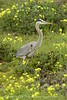 San Simeon CA Great Blue Heron (9)