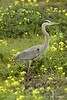 San Simeon CA Great Blue Heron (12)