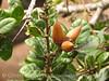 Coastal live oak acorns, Elkhorn Slough CA (1)