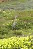 San Simeon CA Great Blue Heron (3)