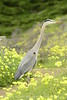 San Simeon CA Great Blue Heron (17)