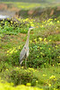 San Simeon CA Great Blue Heron (6)