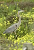 San Simeon CA Great Blue Heron (14)