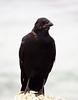 American crow, Monterey CA