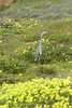 San Simeon CA Great Blue Heron (2)