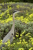 San Simeon CA Great Blue Heron (21)
