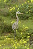 San Simeon CA Great Blue Heron (8)