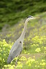 San Simeon CA Great Blue Heron (18)