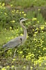 San Simeon CA Great Blue Heron (13)