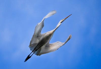 Egret at Lake Casitas