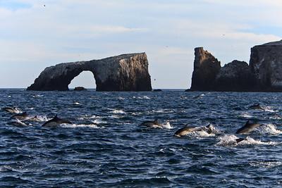 Common dolphins feeding