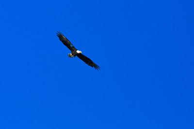 Bald eagle at Anacapa Island