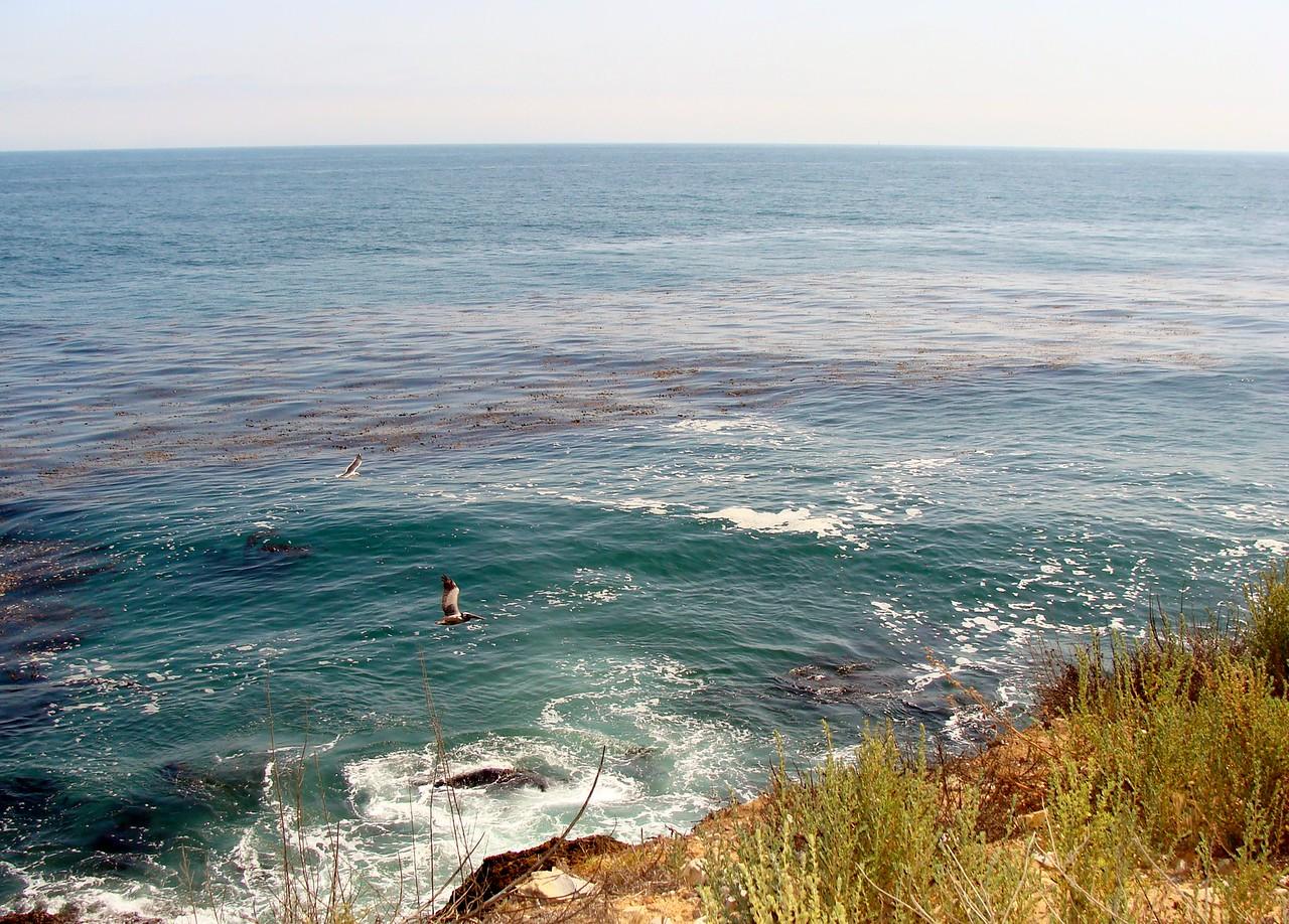 Pelican Surveys the Surf