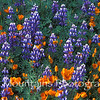 Field of California poppies and lupines on Figeroa Mountain, Santa Barbara County.