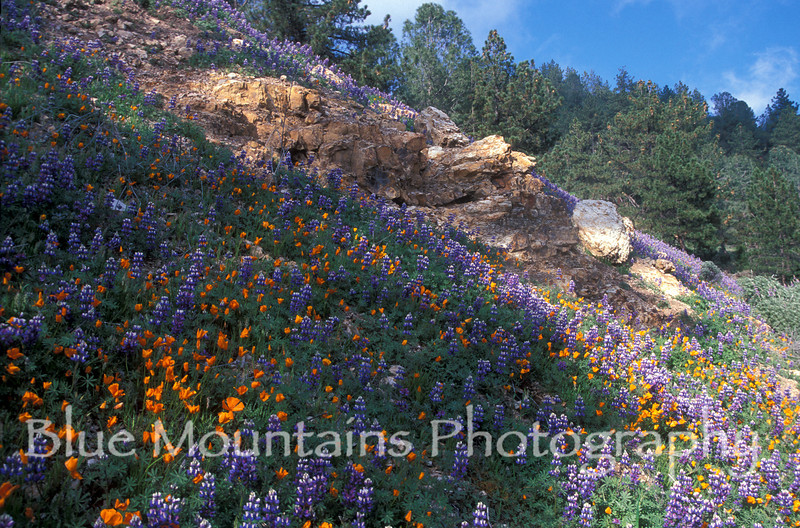 California Poppy and Lupine field, Figeroa Mountain, Santa Barbara County.