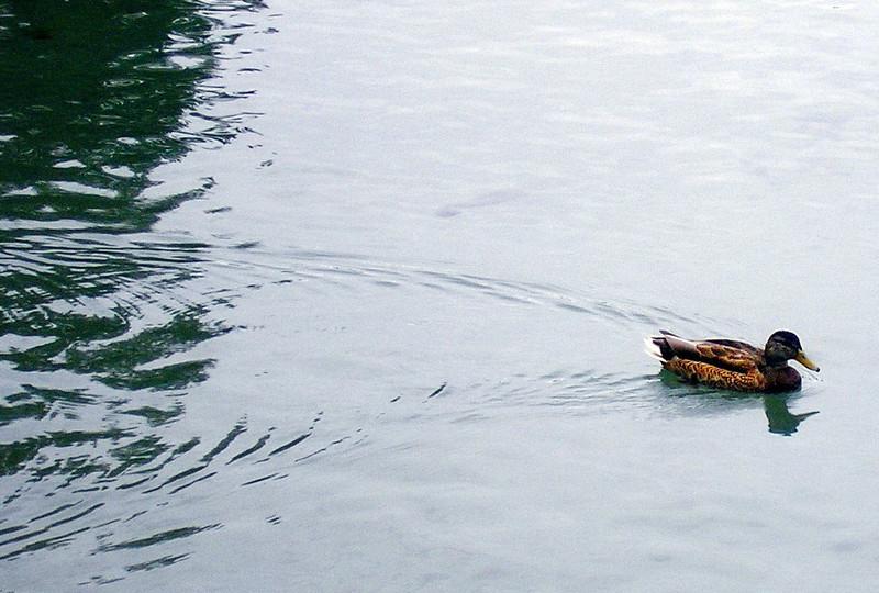 Duck on Lake Tahoe
