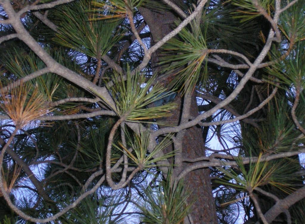 Bluebird in a Pine Tree at Sunrise